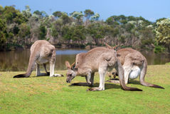 Group of kangaroos Stock Photo