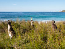 Group of kangaroos on the brach in australia Royalty Free Stock Photo