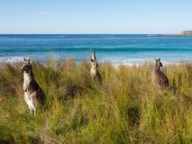 Group of kangaroos on the brach in australia. Group of kangaroos enjoying a day at the beach Royalty Free Stock Photo