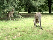 Group of Kangaroos Feeding. During the hot summer day stock video footage