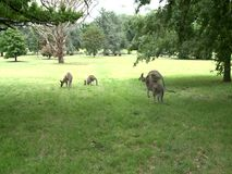 Group of Kangaroos Feeding. During the hot summer day stock video
