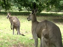 Group of Kangaroos Feeding