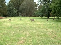 Group of Kangaroos Feeding. During the hot summer day stock footage