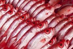 Group of Kapok fish, bigeye Royalty Free Stock Image