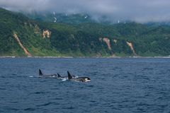 A group of Killer Whales swimming in the sea of Okhotsk near the Shiretoko Peninsula. Hokkaido, Japan stock photo