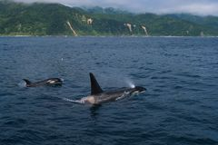 A group of Killer Whales swimming in the sea of Okhotsk near the Shiretoko Peninsula. Hokkaido, Japan stock photography