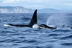 Group of killer whales in the wild Royalty Free Stock Photo