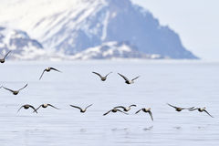 Group of King Eider in flight. Group of King Eider (Somateria spectabilis) flying above water, with Bylot island in background, Baffin bay, Nunavut, Canada stock image