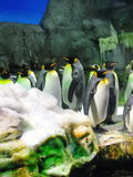 Group of king penguins Stock Images