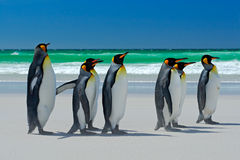 Group of King penguins, Aptenodytes patagonicus, going from white sand to sea, artic animals in the nature habitat, dark blue sky,. Antarctica Royalty Free Stock Photos