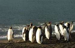 Group of King Penguins on Black Sand. A group of adult king penguins standing on black sand at the ocean`s edge. They are sunlit Royalty Free Stock Images