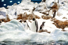Group of King penguins in a colony. Royalty Free Stock Images