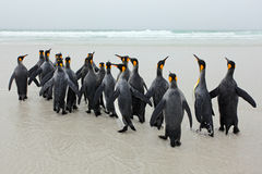 Group of king penguins coming back from sea tu beach with wave a blue sky Stock Photo