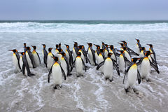Group of king penguins coming back from sea tu beach with wave a blue sky Royalty Free Stock Photography