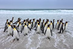 Group of king penguins coming back from sea tu beach with wave a blue sky stock images