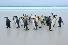 Group of king penguins coming back from the sea on white sand beach with wave a blue sky Stock Images