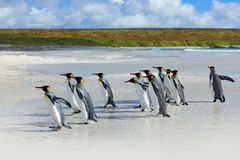 Group of king penguins coming back together from sea to beach with wave a blue sky, Volunteer Point, Falkland Islands. Wildlife sc Stock Photo