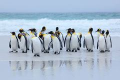 Group of king penguins coming back together from sea to beach with wave a blue sky, Volunteer Point, Falkland Islands. Wildlife sc royalty free stock images