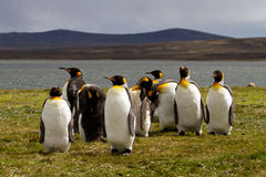 Group King Penguins in the evening light Stock Photography