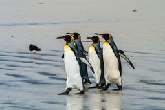 Group of king penguins going to the water
