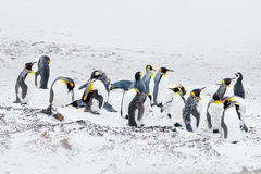 Group of king penguins in the snow. White habitat with sea birds. Penguin in the nature. Penguin family on the white sand beach. royalty free stock photos