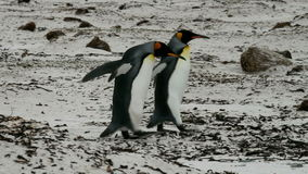Group of King Penguins are strolling around stock video