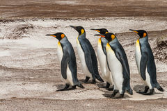 Group of king penguins walking Stock Photography