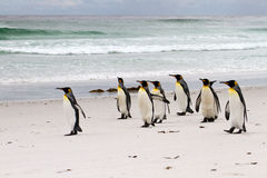 Group of King Penguins Royalty Free Stock Images
