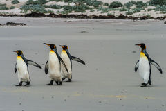 Group of King Penguins Stock Photography