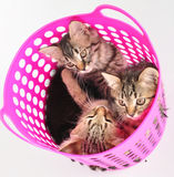Group of kittens in a basket Stock Photos
