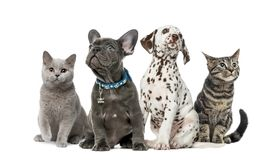 Group of kittens and puppies sitting, isolated. On white royalty free stock image
