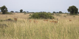 Group of kob in Queen Elizabeth National Park, Uganda. Group of male and female kob antelope in tall grasses in Queen Elizabeth National Park, Uganda Royalty Free Stock Image