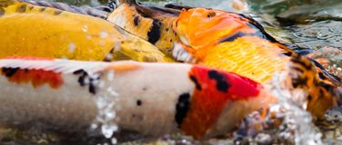 Group of Koi carps, fish. Close-up of a group of koi carps, fish fighting in the water Stock Photo
