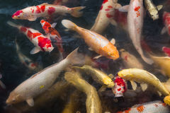 Group of koi carps swimming in pond Royalty Free Stock Photos