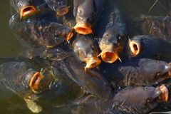 Group of koi fish jumping water stock images