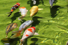 Group of Koi fishes (Carps) Stock Photos