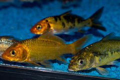 Group of Koi. Group of goi in an aquarium Royalty Free Stock Image