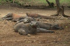Group of Komodo dragons Royalty Free Stock Image