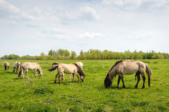 Group of Konik horses grazing in a Dutch nature reserve Royalty Free Stock Photo