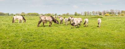 Group of Konik horses together Royalty Free Stock Photo