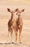 Group of Kudu (Tragelaphus Strepsiceros) Royalty Free Stock Image