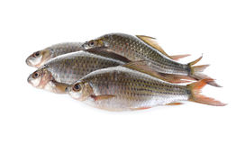 Group of Labiobarbus siamensis fish on white background Royalty Free Stock Image