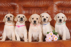 Group of labrador puppies Royalty Free Stock Images