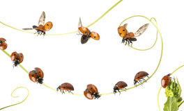 Group of Ladybirds landed on a plant and flying, isolated. On white stock photos