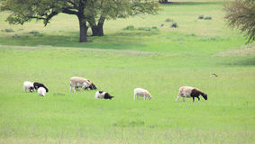 Group of Lamb Royalty Free Stock Photography