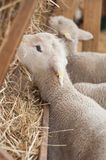 Lamb in a farm. Group of lamb in a farm royalty free stock photo