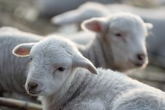 Group of lambs in a farm. Stock Photo
