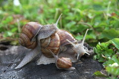 Group of land snails Royalty Free Stock Photography