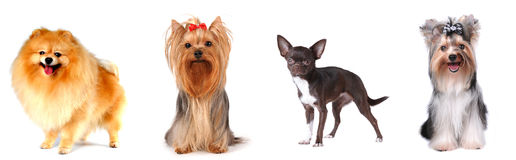 Group of lap dogs. Group of luxury lap dogs isolated on white: pomeranian spitz, yorkshire terrier, chihuahua and biver yorkshire terrier Stock Photo