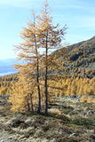 Larch trees  Royalty Free Stock Photography